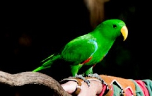 The Endangered Swift Parrot
